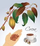 Sprigs of flowering cocoa Royalty Free Stock Images