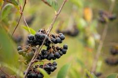 Sprigs fresh chokeberry Stock Photography