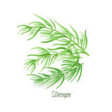 Sprigs of fresh delicious tarragon in realistic style Stock Photos