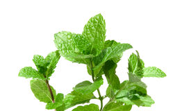 Sprigs of fresh mint isolated Royalty Free Stock Photography