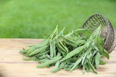 Sprigs of fresh sage Stock Images