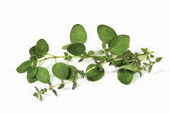 Sprigs of Freshly Picked Origanum and Thyme Royalty Free Stock Photo