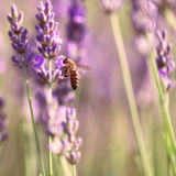 Sprigs of lavender and bee Stock Photography