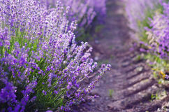 Sprigs of Lavender Stock Photography