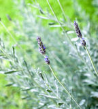 Sprigs of Lavender Royalty Free Stock Photos