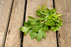 Sprigs of lovage on a wooden table Royalty Free Stock Photo