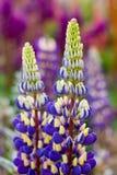 2 sprigs lupine Стоковые Изображения