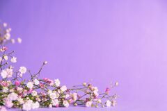 Free Sprigs Of Gypsophila On A Purple Background Royalty Free Stock Photography - 220351557