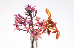 Sprigs of Pink and Orange Flowers from the Epidendrum Orchid Stock Photo