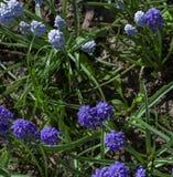 Sprigs purpurowi mali kwiaty zaświecali słońcem dalej obraz royalty free