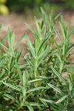 Sprigs of Rosemary Stock Images
