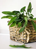 Sprigs of sage Royalty Free Stock Image