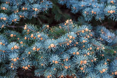 Sprigs of small blue spruce. Sprigs of blue spruce with pinecones Royalty Free Stock Photos