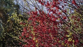 Sprigs of tree strewn with the small red flowers sway from the breeze. The sprigs of tree strewn with the small red flowers sway from the breeze stock video
