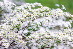 Sprigs of white shrub Spirea. On a green background Royalty Free Stock Photography