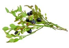 Sprigs z czarnych jagod purpurowymi soczystymi dojrzałymi jagodami, odizolowywać na białym tle Zdjęcia Royalty Free