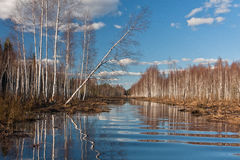 Sprigtime flooding. Springtime flooding in birch grown Stock Image