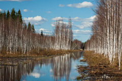 Sprigtime flooding. Springtime flooding in birch grown Royalty Free Stock Images