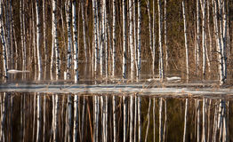 Sprigtime flooding. Springtime flooding in birch grown Royalty Free Stock Image