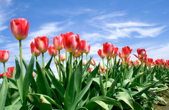 Sprinг tulips in blue sky Stock Images