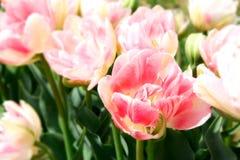 Sprin? Blumen Lizenzfreie Stockbilder