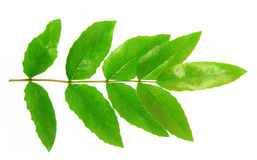 Sprin leaf Stock Images
