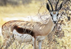 Sprinbok Royalty Free Stock Photos