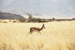 Sprinbok Royalty Free Stock Photo