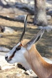 Sprinbok Stock Images