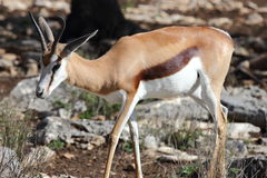 Sprinbok Royalty Free Stock Images
