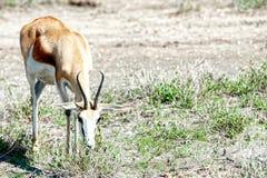 Sprinbok,纳米比亚,非洲 免版税库存照片