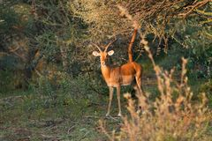Sprinbok antelope in dense bush. Springbok antelope in the bush next to a branch Royalty Free Stock Image