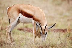 Sprinbok Grazing. Image of an African Springbok grazing Royalty Free Stock Images