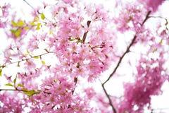 Sprind, Baum, Kirsche, Hintergrund lizenzfreie stockfotos