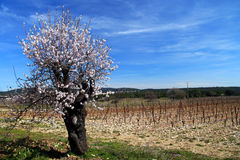 Spring in the countryside. Blossoming cherry trees in orchard in France in spring Stock Photo