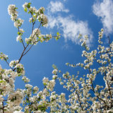 Spring. White flowers(apple-tree) and blue sky Royalty Free Stock Photography