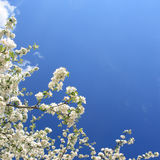 Spring. White flowers(apple-tree) and blue sky Stock Image