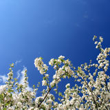 Spring. White flowers(apple-tree) and blue sky Stock Images