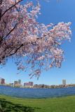 Spring. Blooming tree by the Charles river in Boston Royalty Free Stock Photo