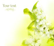 Spring. Beautiful Spring Blossom border.Isolated on white stock images