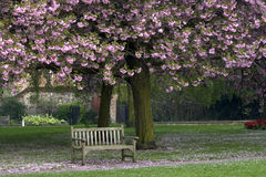 Spring. Bench under pink cherry blossoms Royalty Free Stock Image