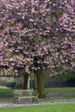 Spring. Bench under pink cherry blossoms Royalty Free Stock Photo