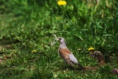 Spring. Bird building it's nest in springtime Royalty Free Stock Photos