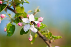Spring. Close-up of honey bee on apple tree flower Royalty Free Stock Image