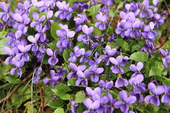Spring. Violets growing out of the grass Stock Photography