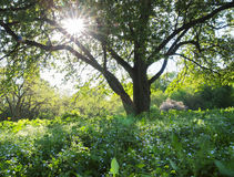 Spring. Tree with Sun throughout crown royalty free stock photos
