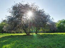 Spring. Trees with Sun throughout crown stock photography