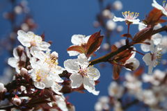 Spring. White blossoming cherry flowers in the morning light royalty free stock photography