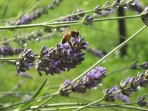 Spring. A bee on a lawanda flower Stock Photos