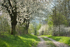 Spring. Flowering Cherry Trees In Spring Landscape Royalty Free Stock Photography